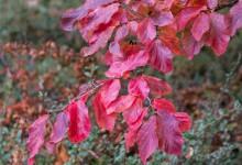 rotes Herbstlaub am Baum